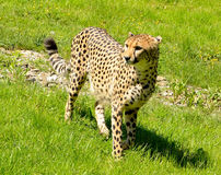 Cheetah Standing in the grass Royalty Free Stock Photography