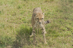 Cheetah. Standing in the grass, looking ahead Royalty Free Stock Photography