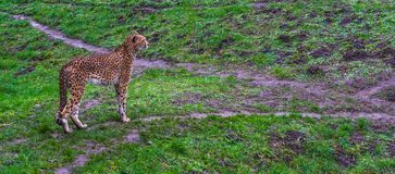 Cheetah standing in a grass pasture, threatened cat specie from Africa. A Cheetah standing in a grass pasture, threatened cat specie from Africa royalty free stock photos