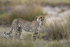Cheetah standing in Grassland Royalty Free Stock Images