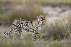 Cheetah standing in Grassland. Acinonyx jubatus; South Africa royalty free stock images