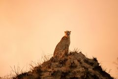 A cheetah sitting on a hill stock image