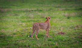 Cheetah standing Royalty Free Stock Images