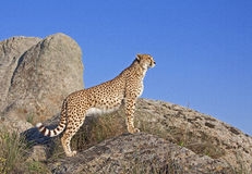 Cheetah standing on a rock Royalty Free Stock Photography