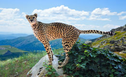 Cheetah standing on stone Stock Images