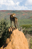 Cheetah standing on Termite Mound. Cheetah (acinonyx jubatus) standing on Termite Mound, Namibia Stock Image