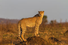 Cheetah Standing on Termite Mound Stock Photography
