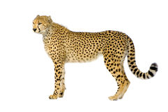 Cheetah standing up stock image