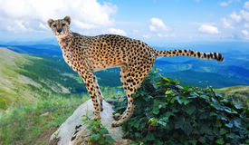 Cheetah standing   in wildness area. Adult cheetah standing   in wildness area Royalty Free Stock Photo