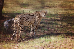 Cheetah. Stands in a grassy area in a fall setting Stock Photo