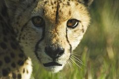 Cheetah stare. Close crop of cheetah staring Stock Image