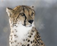Cheetah Stare. Cheetah sitting on a mound of dirt Stock Images