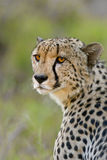 Cheetah stare Stock Images