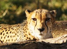 Cheetah Stare-Close Stock Photo