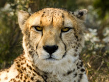 Cheetah Stare II Royalty Free Stock Photo