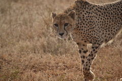 Cheetah stare Stock Photos