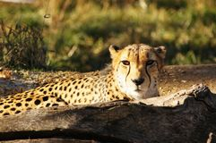 Cheetah Stare Royalty Free Stock Image