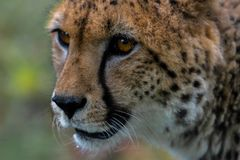 "A cheetah stares at something out of shot. The large dark ""tea Royalty Free Stock Image"