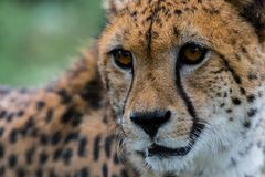 """A cheetah stares at something out of shot.. The large dark """"tear drop"""" facial markings is one of the many ways to identify this as a cheetah and not a Stock Photos"""