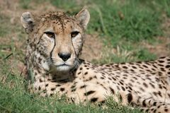 Cheetah Staring. With orange eyes looking fierce Royalty Free Stock Images