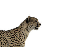 Cheetah Staring Isolation. Staring Cheetah (Acinonyx jubatus) isolation on white background Kruger National Park South Africa Royalty Free Stock Photos