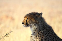 Cheetah staring at prey  Royalty Free Stock Photography
