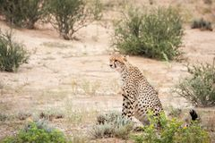 Cheetah staring at prey royalty free stock photos