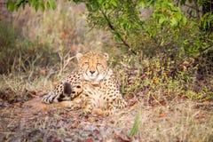 Cheetah starring at the camera. Stock Image