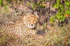 Cheetah starring at the camera. Stock Photos
