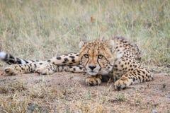 Cheetah starring at the camera. Stock Photo