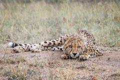 Cheetah starring at the camera. Royalty Free Stock Image