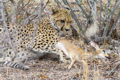 Cheetah with a steenbock in Kruger National Park, South Africa Stock Image