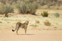 Cheetah stood in desert Royalty Free Stock Photography