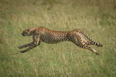Free Cheetah Stretches Legs Running At Full Speed Stock Photography - 160633982