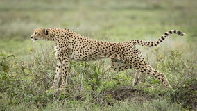 Cheetah stretching, Serengeti, Tanzania Royalty Free Stock Images