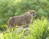 Cheetah stroll Royalty Free Stock Photo
