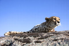 Cheetah in the sun Royalty Free Stock Photo