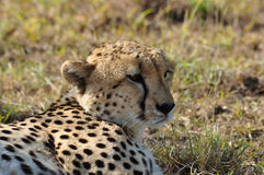 Cheetah in the sun Stock Images