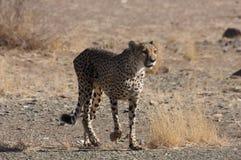 Cheetah at sundown stock images