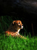 Cheetah in the Sunlight Royalty Free Stock Images
