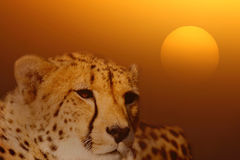 Cheetah at sunrise Stock Photo