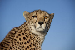 Cheetah in the sunset Stock Image