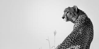 Cheetah Surveyor royalty free stock photography