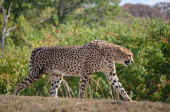 Cheetah Swagger. This Cheetah is showing off his swagger while on his search for food stock image