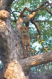 Cheetah. A cheetah taking up a high position for observation Stock Photo