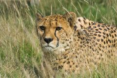 Cheetah in Tall Grass. A Cheetah in long grass at WHF in Kent stock photo