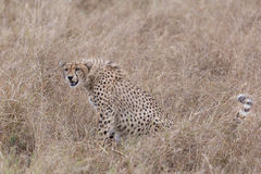 Cheetah in tall grass Royalty Free Stock Image