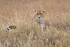 Cheetah in tall grass. Adult cheetah  sits in tall savanna  grass of  Masai Mara National Reserve, Kenya, East Africa Royalty Free Stock Photo
