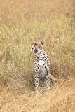 Cheetah in tall grass Stock Photos