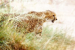 Cheetah in Tall Grass Stock Image